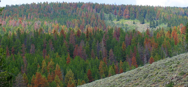 Mountain Pine Beetle Usda Mountain Pine Beetle Epidemic