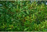 Rusty lyonia (lyonia ferruginea)
