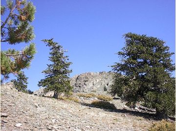 [Photograph]: Foxtail Pines on Mt. Linn.