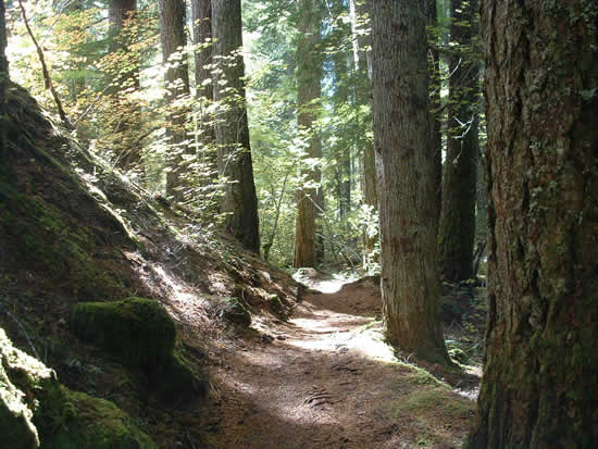 trail through tall forest to Proxy Falls