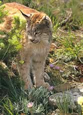Lynx standing by pine boughs.