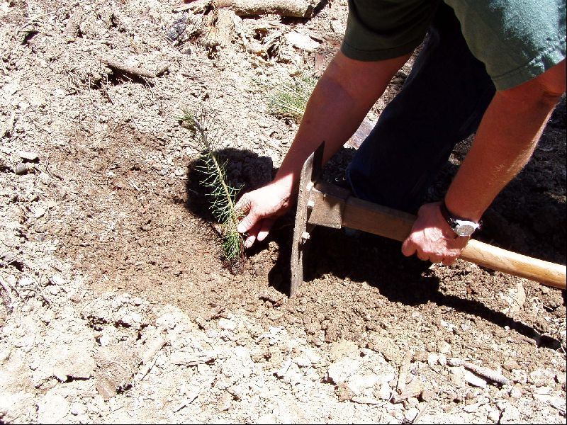 [Photograph]: Planting tree seedlings in a burned area.