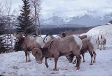 Photo of bighorn sheep in the snow.