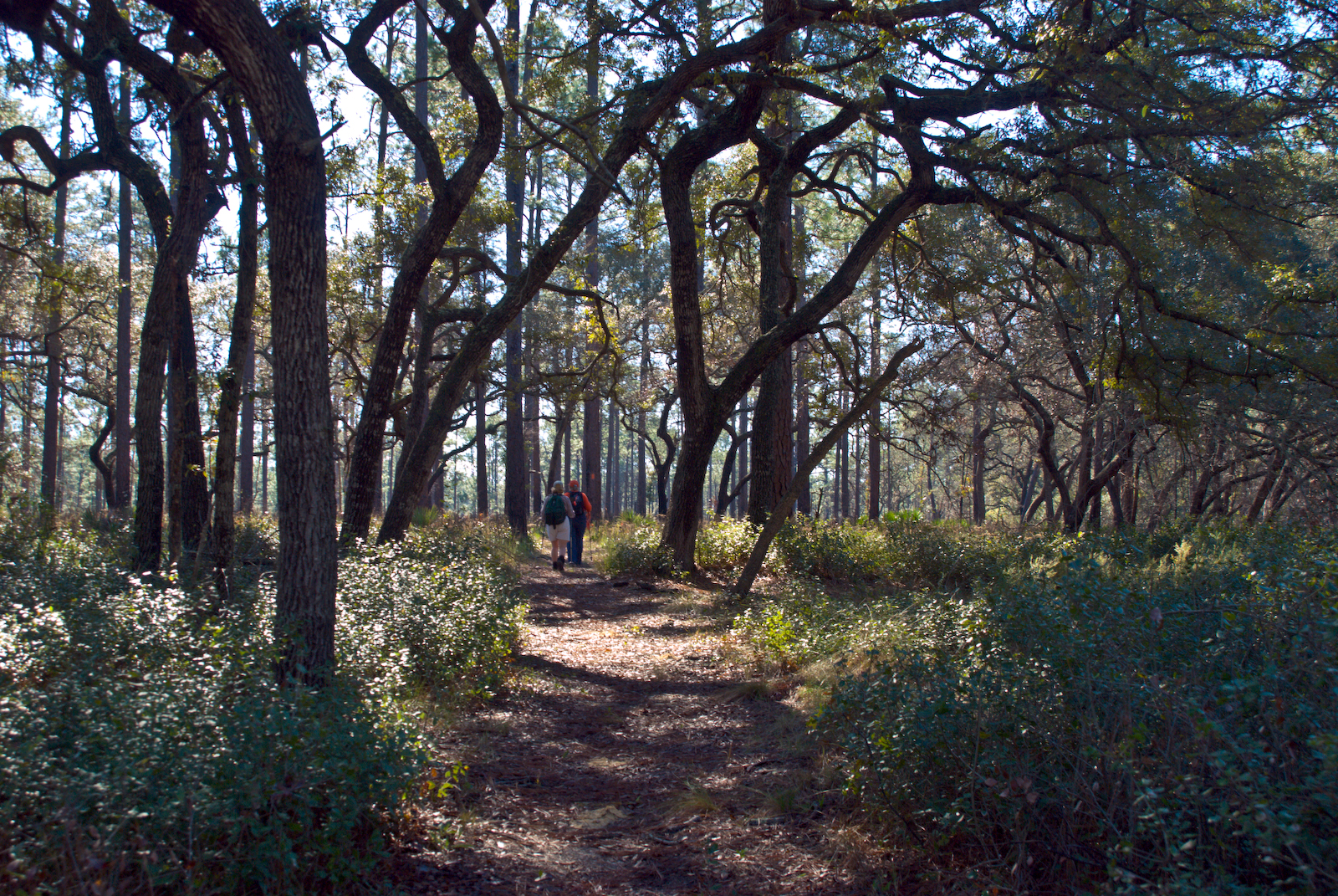 Hiking amid longleaf pines on the Florida Trail