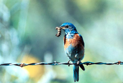 Bluebird on a barbed wire fence