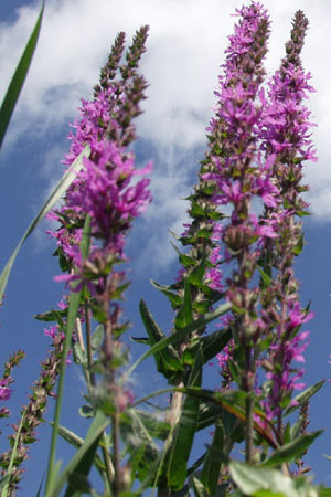 Image of Purple Loosestrife flowers