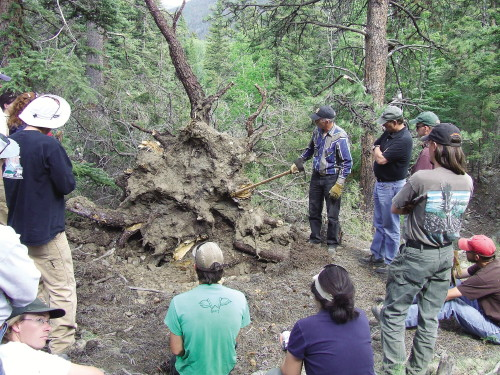 class of people looking at uprooted blue spruce