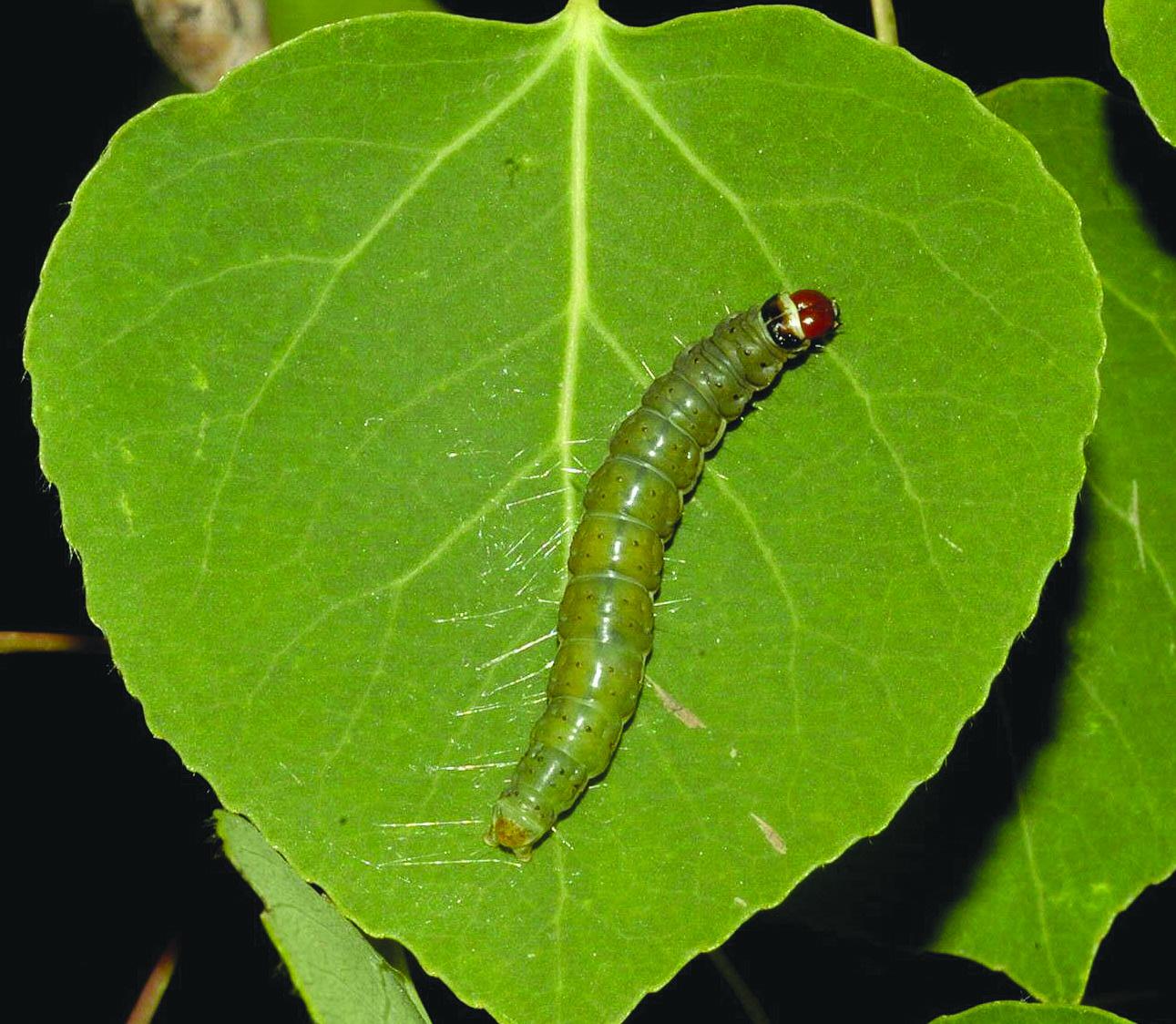 Mature, light green larva of large aspen tortrix