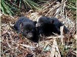 Florida black bear cubs