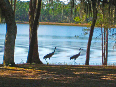 Sandhill cranes along Doe Lake