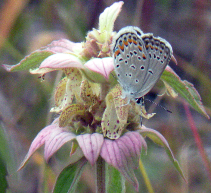 Karner blue butterfly on Horsemint