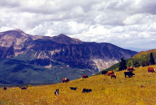 Photo of cattle grazing in a mountain meadow.