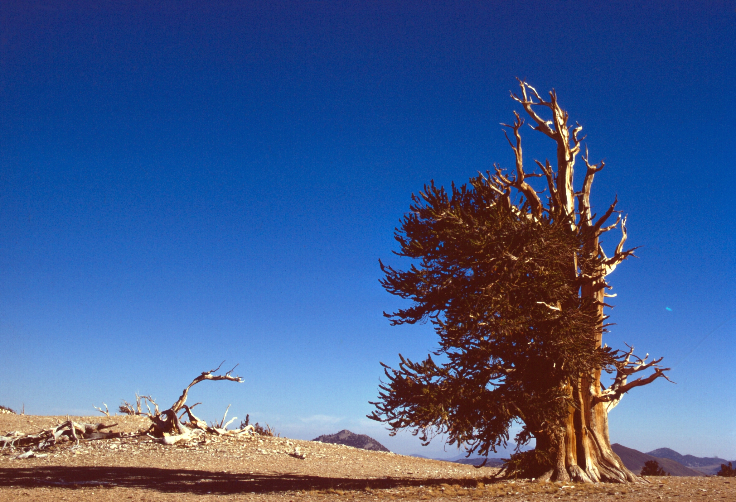 One of many from the Ancient Bristlecone Pine Forest
