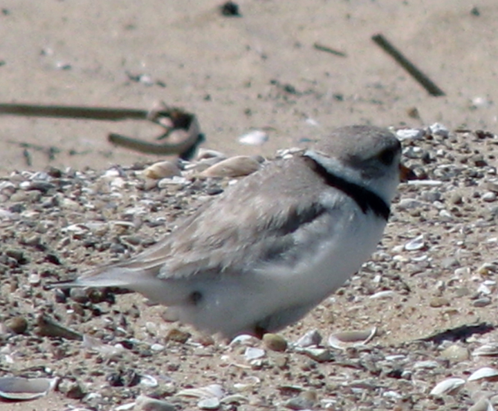 LMRA - Piping Plover