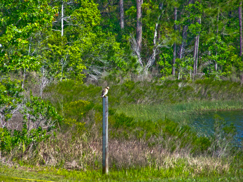 Red-shouldered hawk along the shore of Fore Lake