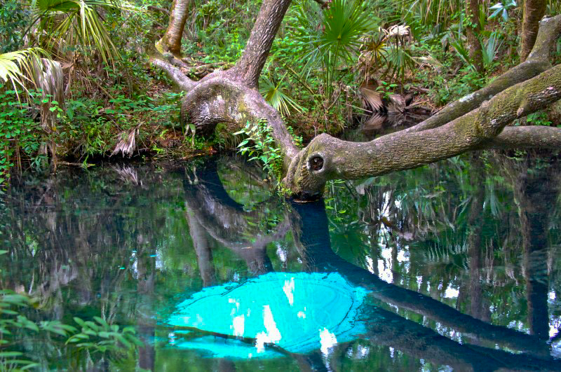 arching branches over fern hammock springs ocala national forest   home  rh   fs usda gov