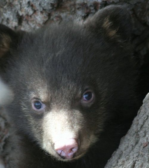 close up of black bear cub