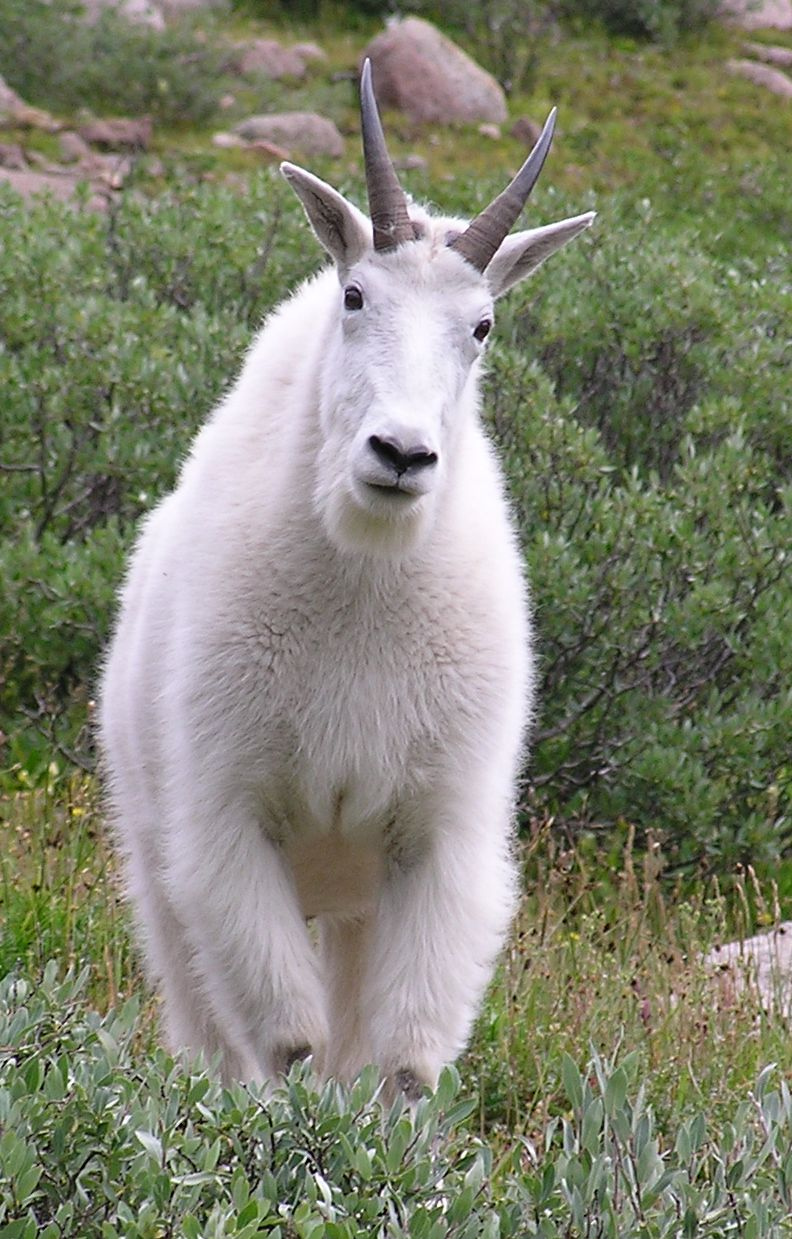 full frontal of mountain goat