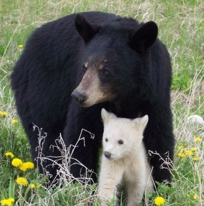 Photo of a black bear and a cub.