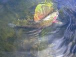 Beautiful photo of a rainbow trout