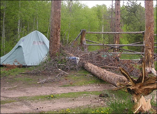 Fallen beetle-kill tree just misses a tent in a campground - Click on this photo to view a larger version and a link to the Regional Mountain Pine Beetle Information webpage