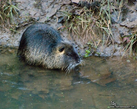 Color photo of an American Beaver standing in a stream with the stream bank in the background.
