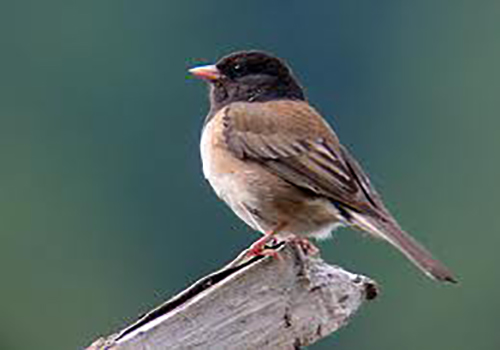 Color photo of a Dark-eyed Junco sitting on a tree branch.