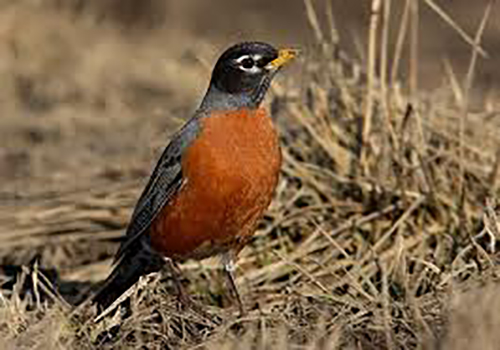 Color photo of an American Robin standing in a green grassy area.