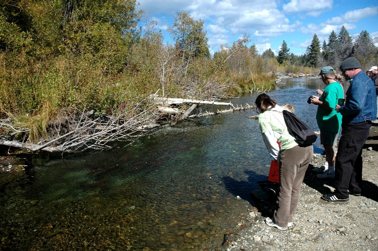Color photo of visitors as they view the red Kokanee Salmon within a few feet of their own feet along the creek bed of Taylor Creek, a 5-10 minute walk from the visitor center.