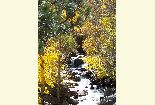 Yellow leaves surround a section of the big pine creek on glacier lodge rd.