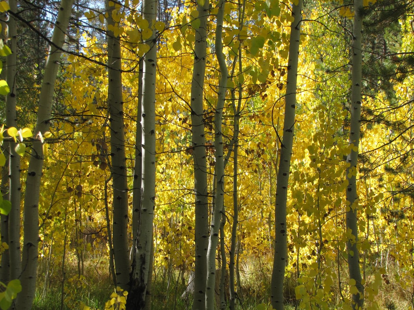 Photo of of aspen stand turning golden yellow