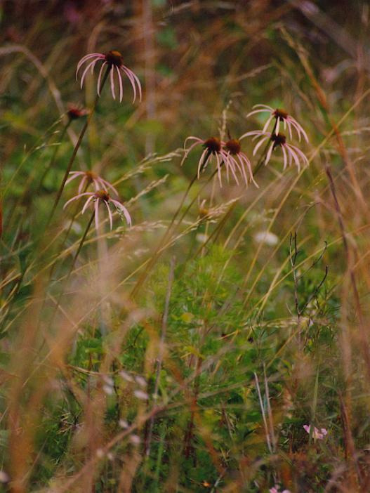Smooth purple coneflower (Echinacea laevigata)