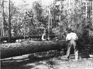 historic photo of bucking trees into logs