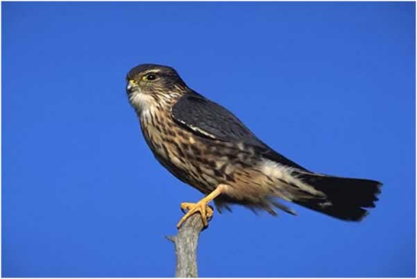 Photo of the Merlin/Falc��n Migratorio