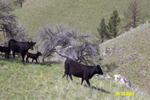 Cattle Grazing on the Forest