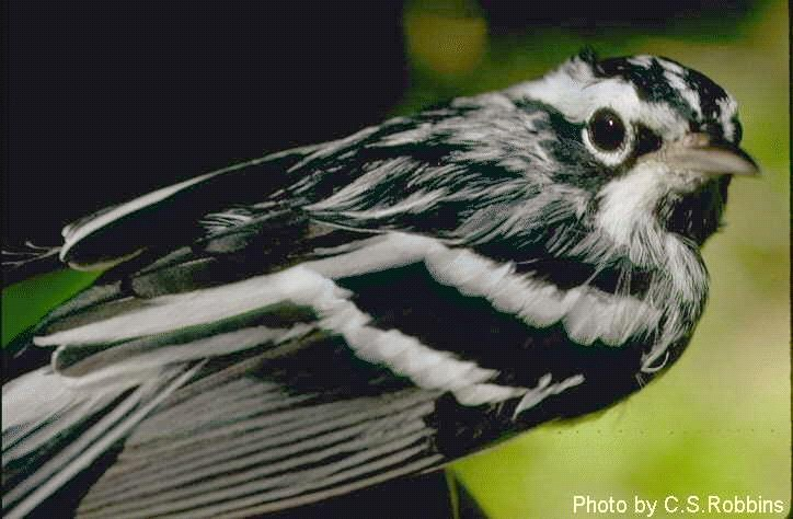 Photo of a Black and White Warbler