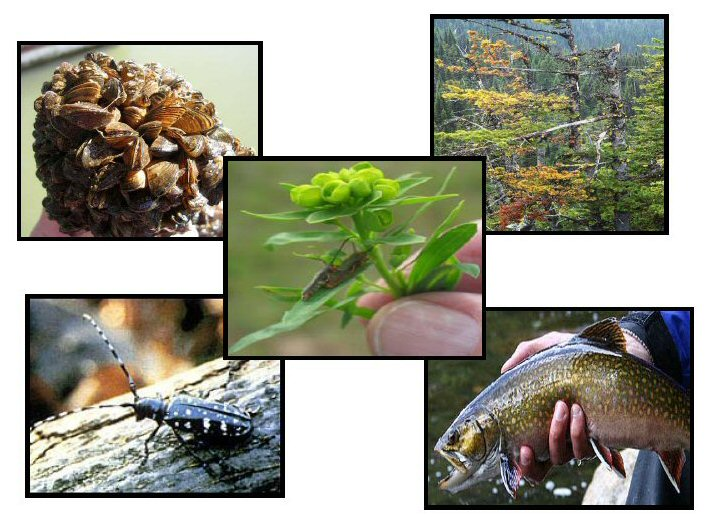 Photos of the different focus areas for invasive species. Upper left: invasive aquatic invertebrate - Zebra mussels;  upper right: invasive pathogen - White pine blister rust; center: invasive plant Leafy spurge with bio-control agents, Red-headed stem borer; lower left: invasive terrestrial invertebrate - Asian long-horned beetle; lower right: invasive aquatic vertebrate - Brook trout