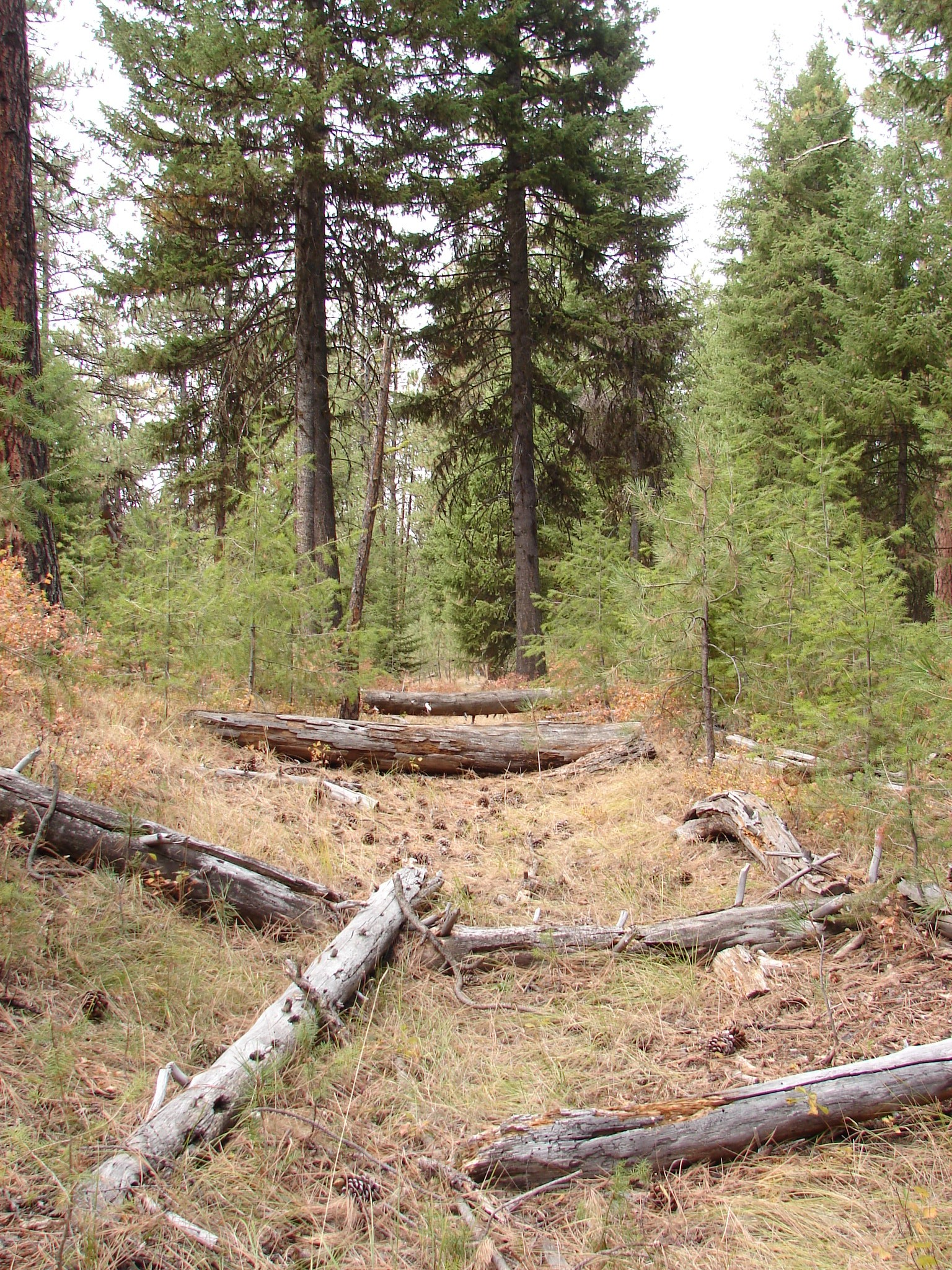 Oregon Trail wagon ruts going through a pine forest