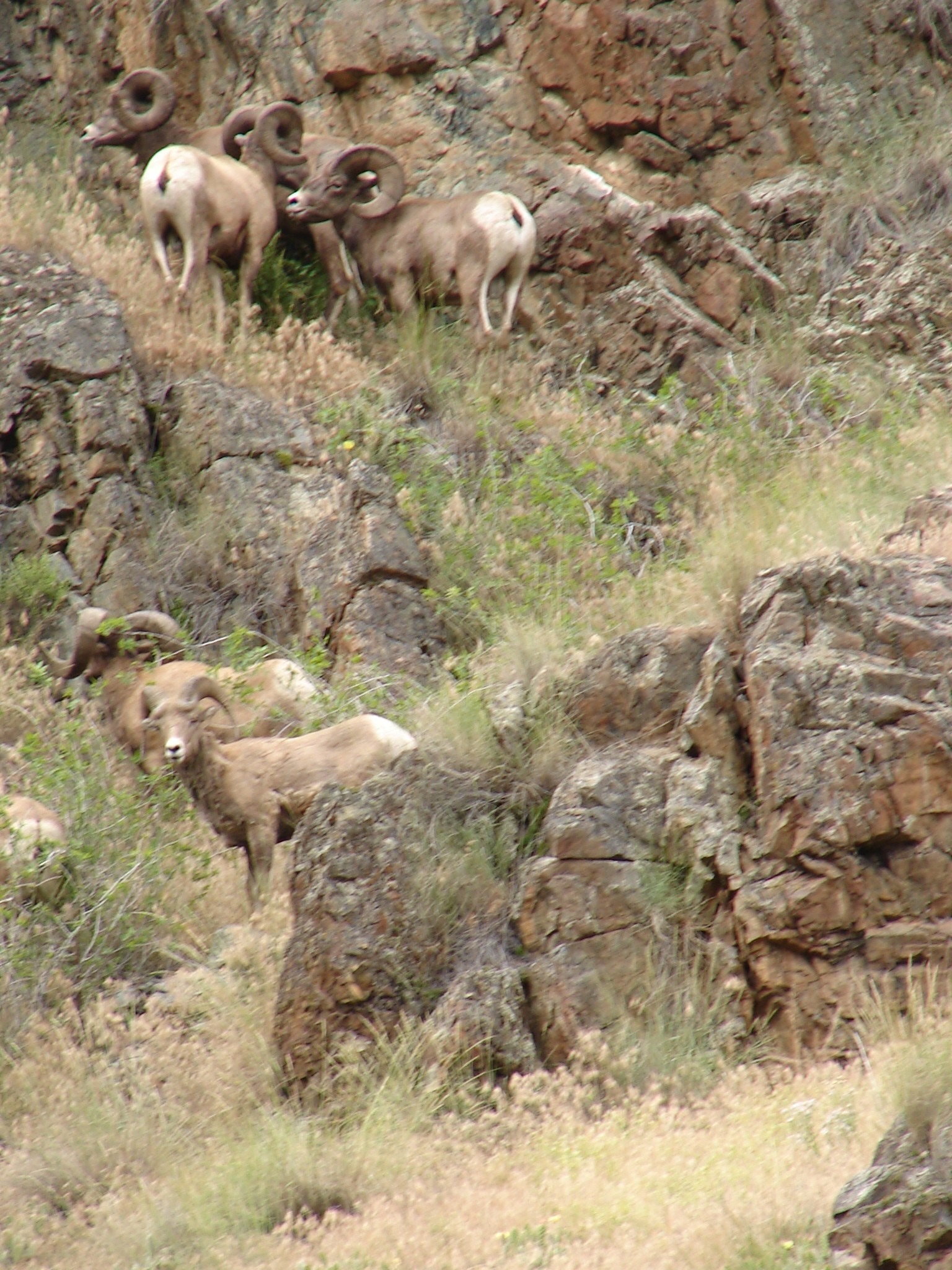 Several bighorn sheep on a rocky hillside