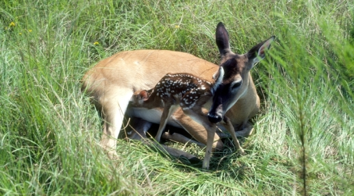 Deer rest in field. A mother deer is seen cleaning her fawn while they take refuge in a grassy field.