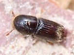 Close up image of pinyon ips bark beetle