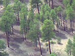 Aerial view of ponderosa pine forest