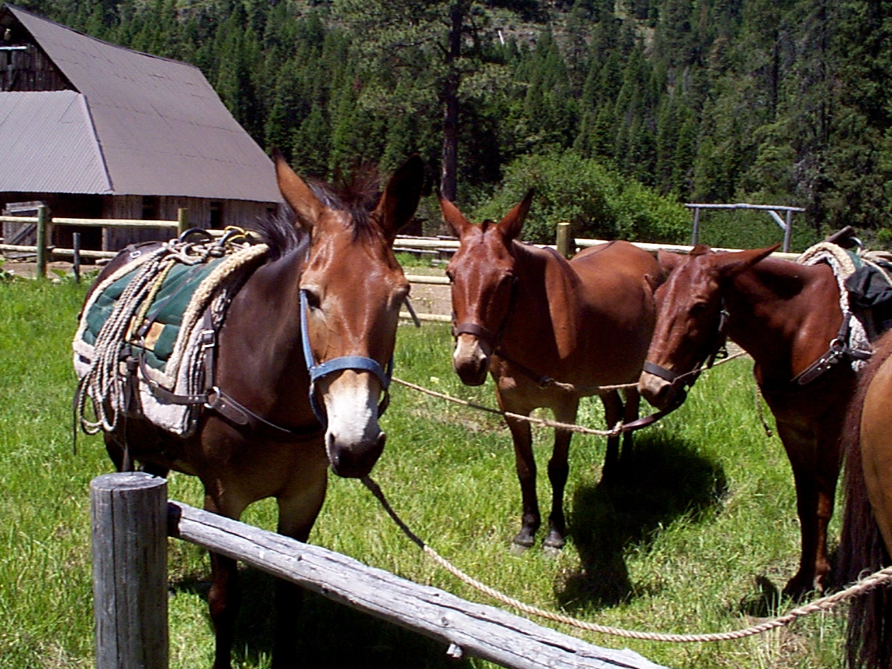 3 mules tied up to a hitching rail with an old barn in the background