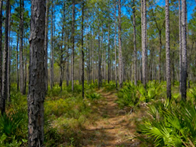 Florida Trail Near Camel Lake. Traversing More Than 74 Miles Of The Apalachicola  National Forest ...