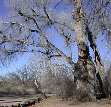 Photograph of large tree in a recreation area that could present a hazard
