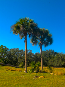 Palms lead the way in Yates Marsh