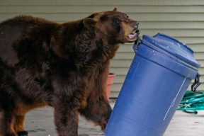 Florida black bear grabs garbage can