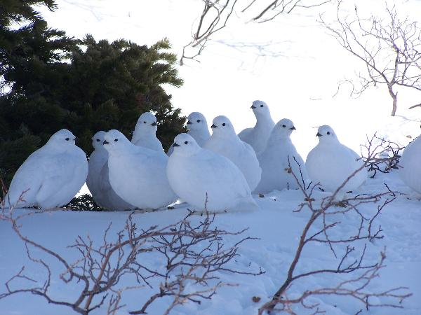 group of white partridge in snow