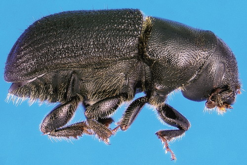 Image of an adult mountain pine beetle