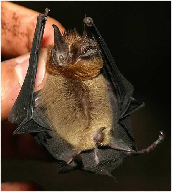 Illustration of the Suoty Mustached bat/Murciélago Bigotudo menor